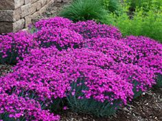 Dianthus 39 firewitch 39 blue gray grass like foliage highly for Pink flower perennial ground cover