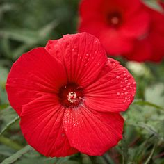 Hibiscus Five Tropical Plants that Thrive in the South-Hibiscus-Blue Daze-Mandevilla-Lemon Lollipop Purple Hibiscus, Hibiscus Plant, Hibiscus Flowers, Tropical Flowers, Colorful Flowers, Hibiscus Garden, Burgundy Flowers, Pink And White Flowers, Big Flowers