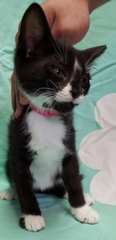 Meet Lisa 22820, a Petfinder adoptable Domestic Short Hair Cat   Prattville, AL   Lisa is a 10-week old, female, tuxedo kitten. Lisa loves to play hide and seek and wrestle with the...