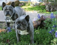 Wow! Can't have a Blue Nose Pit Bull so I want a Blue Nose French Bull Dog!