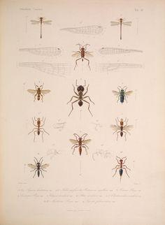 natural history illustration from Cuba 1838-1857 c