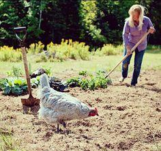 Hen helping in the garden.