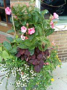 mandevilla container garden idea