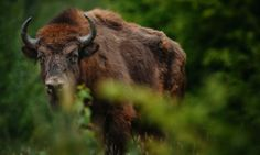 """Europe's largest beast is to roam the forests of Romania after 200 years     """"Releasing animals, giving them space, is a sign of hope, it shows that if we choose, we can help wildlife come back."""""""