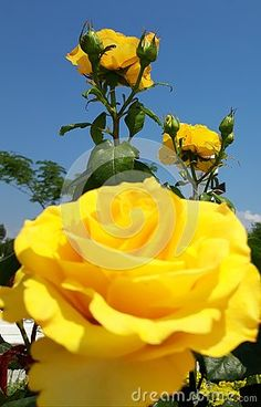 Yellow roses on sunny sky background