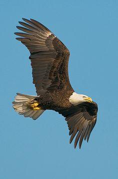 American Baid Eagle