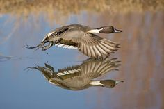 Northern Pintail in flight photo by Dave Williams timing is important in photography.