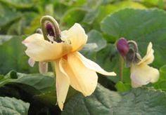 Viola odorata 'Sulphurea' - Gelbes Duft-Veilchen