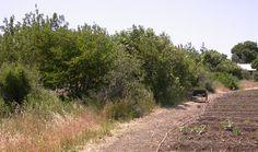 hedgewrow