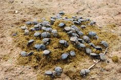 Dung Beetles Offset Climate Change