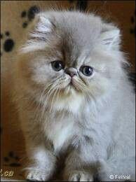 Persain kitty