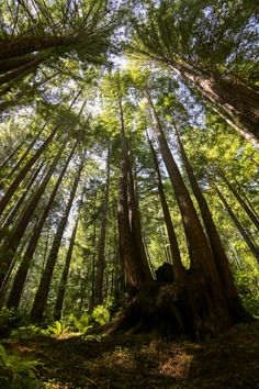 Redwood Cathedral, Henry Cowell State Park, Santa Cruz, California