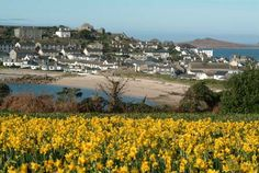 Daffodils on St Mary's, Isles of Scilly