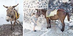 Esel bringen einen sicher zum Hafen Thiras © Carina Dieringer Carina, Horses, Animals, Donkeys, Backdrops, Nice Asses, Animales, Animaux, Animal