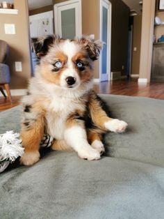 Australian Shepherd Puppies, Aussie Puppies, Australian Shepherds, Baby Animals Super Cute, Cute Little Animals, Doggies, Pet Dogs, Dog Cat, Cute Puppies And Kittens