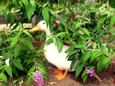 You don't have to sacrifice a beautiful yard just because you have ducks. HGTV Gardens offers a variety of tips for specific plants and for strategies that work well for landscaping your duck yard. Urban Chickens, Pet Chickens, Raising Chickens, Backyard Ducks, Chickens Backyard, Backyard Poultry, Backyard Farming, Backyard Birds, Slugs In Garden