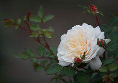 Rosier AUSTIN 'CROCUS ROSE'