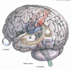 hippocampus - Google Search
