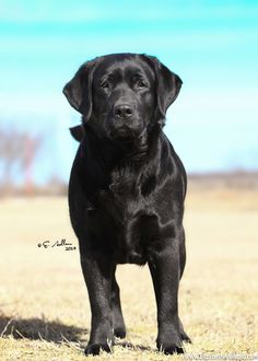 English Labrador Retriever. I want a black one one day because English Labs are the best :)