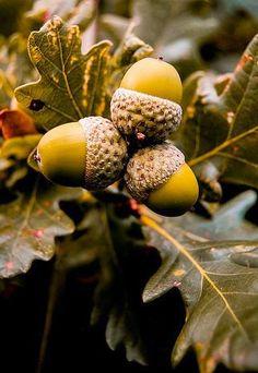 Acorns Autumn Sign