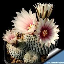 Image result for turbinicarpus