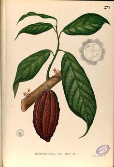 Ponche de Cacao | Kuai Nabaida