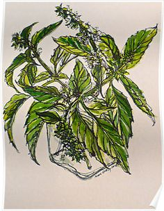 Basil. A pungent and delicious herb. Pen & wash. 21cmx28cm 2012Ⓒ by Elizabeth/Liz Moore Golding