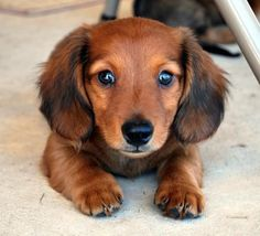 Dachshunds are very popular members of the small dog breeds community since they are excellent watch dogs. They were bred to eliminate vermin, which is extremely unique for small dog breeds. The Dachshunds are very attached to their owners and want to be with them at all times.<3