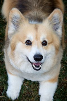 fluffy Elliot!  The Daily Corgi