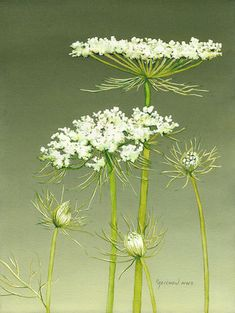 Queen Anne's Lace V - Christine Reichow Watercolor Artist - (239) 273-9568