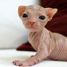 That's awful!!! It needs to be exposed so they stop! Please pin this to everyone you know #SphynxCat