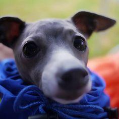 ~Italian Greyhound~