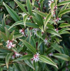 Sarcococca hookeriana var. digyna. Evergreen shrub, dainty white flowers Feb/March with superb fragrance. For part to deep shade in moist well-drained soil. HxS 1.5-1m.
