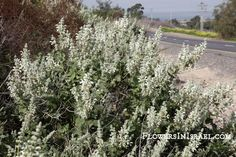 Common name:Dominican Sage Flowering Period:  February, March, April, May