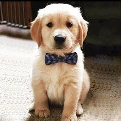 Golden Retriever puppy with bow tie Super Cute Puppies, Cute Baby Dogs, Cute Little Puppies, Cute Little Animals, Cute Funny Animals, I Love Dogs, Dogs And Puppies, Doggies, Retriever Puppy
