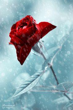 Согрейте розу!