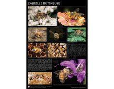 Affiche abeille butineuse