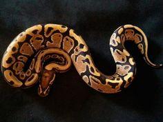 Co-Dominant Ball Python Morphs - A 2 Z Reptiles - Look at some snakes! Python Regius, Ball Python Morphs, Cute Snake, Disco Ball, Black Magic, Black Laces, Back To Black, Reptiles, Thunder