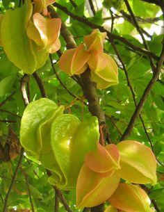 Carambola (Averrhoa carambola L., Oxalidaceae) Origem: Ásia