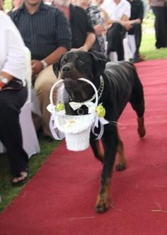 Rottweiler ring bearer....just try to get the ring away from me...I dare you