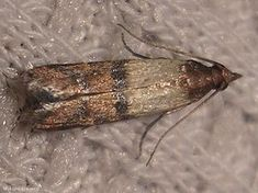 Pantry moths are pernicious little pests. Pantry Moth Larvae, Pantry Moths, House Insects, Diy Pest Control, Garden Guide, Natural Garden, Household Items, Organic Gardening, Insects