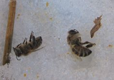 Late Winter: Is My Beehive Still Alive? #BackyardBees, #BeehiveManagement, #Beekeeing, #Bees, #WinterBees #AnimalsandLivestock