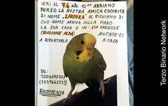 RICCIONE (ALBA): SMARRITA LARINKA, PAPPAGALLO COCORITA. RICOMPENSA http://www.terzobinarionetwork.com/2016/06/riccione-alba-smarrita-larinka.html