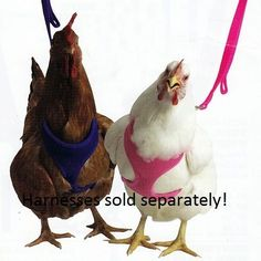 Poultry Harness & Leash... cause i'm sure that goes over as well as it did with a certain grey tiger cat... hahah