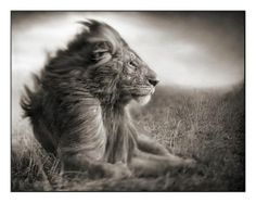 This photographer's work is amazing!! And what a glorious animal!