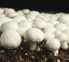 Comment cultiver le champignon de Paris ou champignon de couche (agaricus bisporus). Paramètre de culture du champignon de Paris afin de cultiver sur du compost