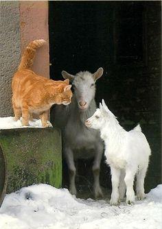 Goat's & Cat Hi! Visit us @ the Bohemian Yogini Shop http://www.tadasanagoats.com <3