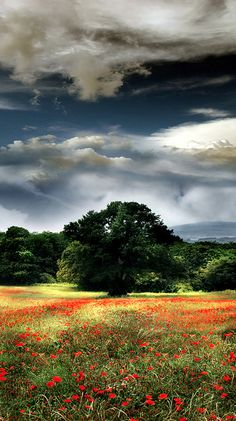 Poppy field in Sutri, Viterbo, Italy