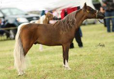 miniature horses | ... More Amha Horses For Sale Sherwood Miniature Horse Amp Welsh Pony Stud