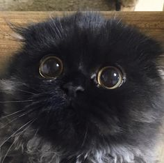 Gimo the cat has the biggest and most adorable eyes you've ever seen: Puss in…